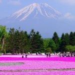 櫻花開在地上好特別!到日本賞富士山下的紅地毯