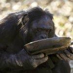 香蕉不是最愛!科學家發現:黑猩猩愛吃熟食,甘願花時間「把菜煮熟」....