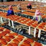 杜宇觀點:養殖烏魚子用藥是謠言嗎?