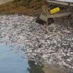 公孫策專欄:虱目魚跟台灣鯛的啟示