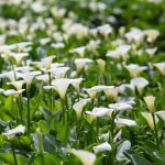 竹子湖海芋盛開了!採花、賞景正是時候 錯過等明年