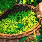 世界10大產茶國家!日本名列第十,第一名的是...