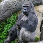 動物園悲劇》4歲男童闖入獸欄 園方被迫射殺大猩猩