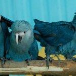 絕跡15年 珍稀小藍金剛鸚鵡再現巴西