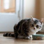 喵喵到底在挑嘴什麼?掌握貓食中的這個比例,辛苦準備的大餐不再被退貨