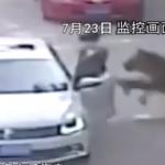 遊客擅自下車,遭老虎拖走攻擊 北京動物園意外釀一死一傷