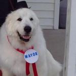 大白熊犬深受鎮民愛戴 3連任明尼蘇達州小鎮鎮長
