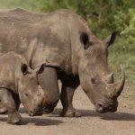 如何防止盜獵?辛巴威國家公園:把所有犀牛的角都鋸掉!