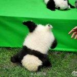 四川大貓熊小寶寶一摔  摔成世界最佳照片