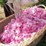 讀者投書:為何香水如此高貴?走一趟法國玫瑰園,就知道成本多麼驚人