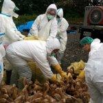 杜宇觀點:掉漆的禽流感防疫