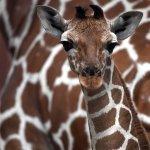 動物園裡人見人愛,戰亂地區卻淪為食物!長頸鹿也被列入「易危」物種