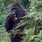 波蘭來的驕客!金剛猩猩「迪亞哥」台北市立動物園正式亮相