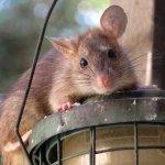 新的一年,還想跟老鼠當室友嗎?環保署列小拉達出沒4大徵兆,大掃除多注意!