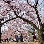 錯過東京「櫻吹雪」美景絕對捶心肝!現在安排最剛好,內行人私藏5大花見名所