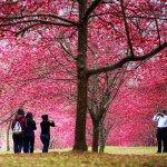 雖然台灣櫻花多半不像日本粉嫩夢幻,但也很有味道啊!精選全台8處賞櫻景點