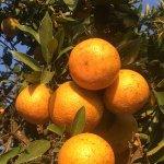農曆年後桶柑轉紅正好吃 北投觀光柑園即日起開放採果樂