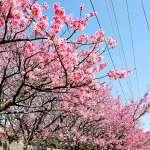 還以為到了日本啊!那麼美的櫻花林台灣這5處就有,各地盛開期不藏私公開