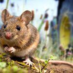 科學研究:人鼠「同居」始於農業社會前