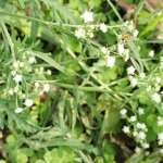 國際級毒草台灣蔓延中!不小心碰到這種草恐怕會過敏、中毒
