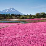 一年只出現一個多月的絕景!無邊際花毯配富士山,那畫面太美,親眼欣賞終生難忘