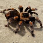 蜘蛛女之吻!印尼奇女子養1500隻狼蛛當寵物
