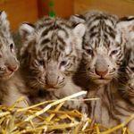 【圖輯】4倍萌!奧地利動物園迎接白色小老虎4胞胎