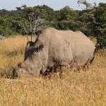 「我身高6英尺、體重5000磅,堪稱英俊瀟灑」全球碩果僅存北非白犀牛網上徵婚