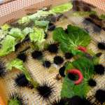 紫海膽吃下廢棄蔬菜更甘甜 可望打造新商業模式