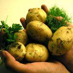 是否開放美基改馬鈴薯?農委會這樣說…