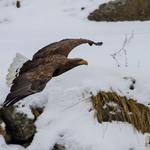 呂紹煒專欄:台灣第一「奇鳥」─翠峰湖的白尾海鵰