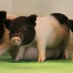 基因編輯建奇功,異種器官移植大突破》未來人類可移植豬的器官!