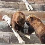 繼北極熊之後,阿拉斯加棕熊也因「這件事」遭殃!美國研究揭露出驚人的事實…