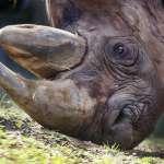 你看得出來這些都是犀牛角嗎?盜獵者出加工走私新招,查緝行動難上加難