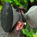 雞也戴VR?美國教授一番實驗,引人深刻反思…若你是雞,會情願活在虛擬的自由中嗎?