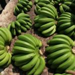 香蕉過剩讓「天然災害現金救助」現原形 農委會「農業保險」真能解套?
