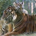 棕櫚油惹禍!食品大廠漠視印尼供應商破壞雨林 紅毛猩猩與蘇門答臘虎棲地銳減