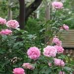 喜歡玫瑰花嗎?你一定要來這個地方 700個品種讓你眼花撩亂