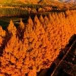 滋賀‧高島5百棵水杉紅葉如丹 SNS上人氣夯(影片)