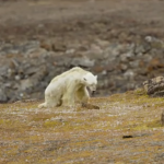 紙片北極熊蹣跚倒下 攝影師哭了:「這就是氣候變遷的真實面貌」