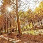 不說還以為這在歐洲啊!全台5大最值得特地一訪的落羽松秘境,整片金黃樹林實在太美了