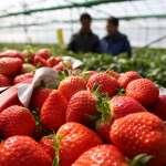 想吃草莓,自己動手採!超詳細6間大湖採草莓攻略,這時間點去最便宜