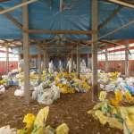 嘉義火雞場染禽流感 今完成撲殺近5千隻