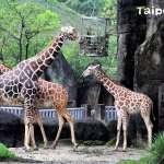 入園人次逐年下降 北市動物園:不會為觀客人數刻意引進新物種