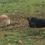 阿扁狗年推出新犬!「新勇哥」諷小英 黃狗「花妹」只會說「維持現狀」