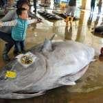 可捏約3千人份握壽司!450公斤黑鮪魚捕撈上岸價格為?