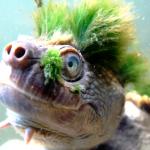 太可愛了,卻瀕臨滅絕!龐克「綠髮」造型的澳洲隱龜 等待政府關愛的眼神