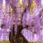 櫻花過後,還有醉心的紫色瀑布!全日本6處賞紫藤花名所大公開!