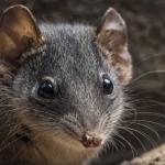 精盡鼠亡》澳洲袋鼩「自殺式性愛」14小時至死方休,竟然引爆絕種危機…