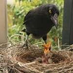 為何鳥類祖先「在地面生蛋」,現代卻在樹上築巢?學者分析8千多種鳥巢解開「演化之謎」